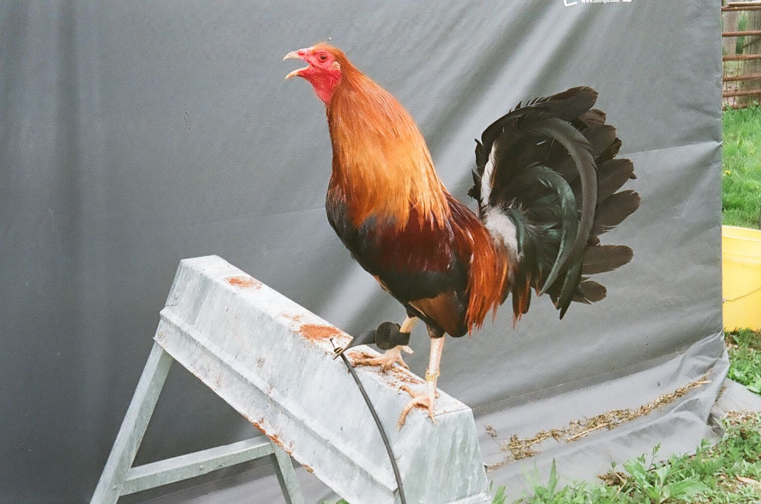 Boston Roundhead Gamefowl